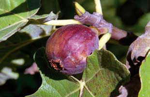 a fig